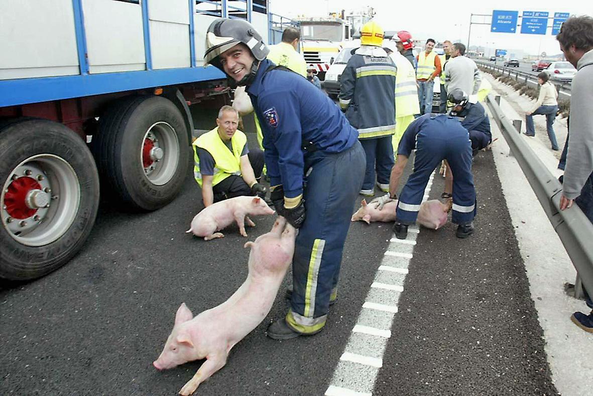Murcia, 21.03.2006.- Efectivos del Cuerpo de Bomberos de Murcia retiran los animales extraviados después de que el camión que los transportaba volcase en la autovía Murcia-Alicante. Joaquín Clares.