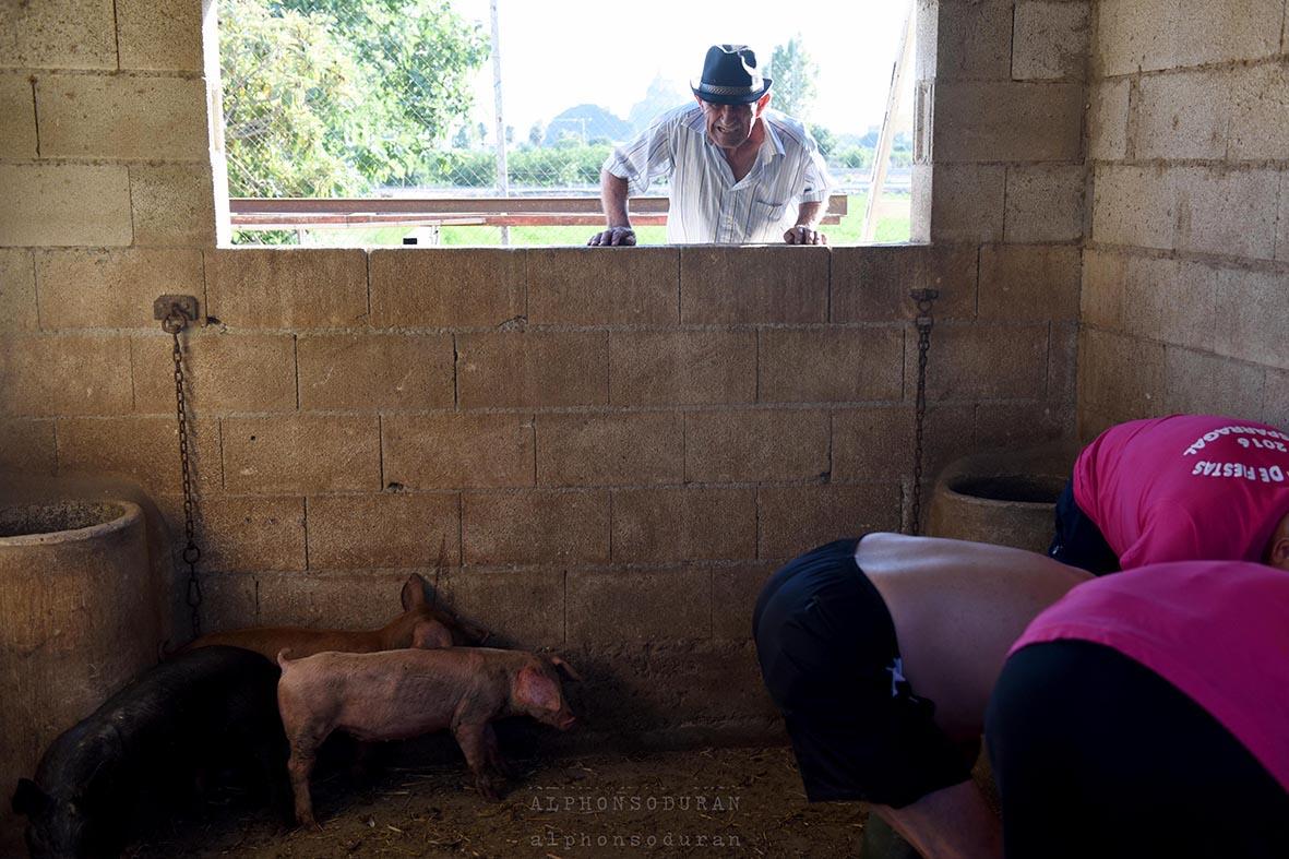 """Murcia, 24.07.2016.- Miembros de la comisión de fiestas proceden al embadurnado de varios cerdos, ante la mirada del propietario de los animales, antes de darles suelta para celebral la """"Caza del Marrano"""", en la pedanía murciana de El Esparragal. Alfonso Durán."""